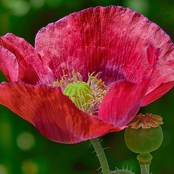 Poppy | LENS MODEL NOT SET <br> Click image for more details, Click <b>X</b> on top right of image to close
