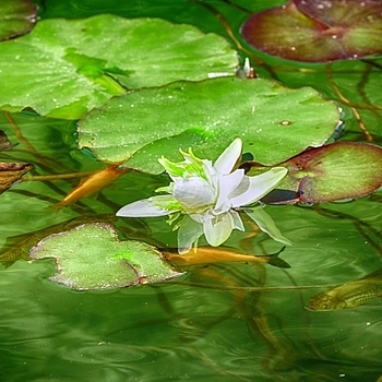 White water lily with goldfish | LENS MODEL NOT SET <br> Click image for more details, Click <b>X</b> on top right of image to close