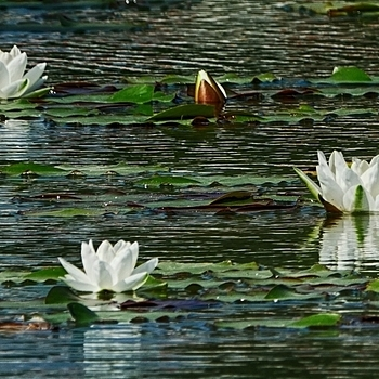 Water lilies | LENS MODEL NOT SET <br> Click image for more details, Click <b>X</b> on top right of image to close