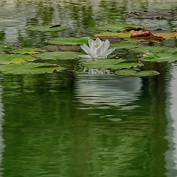 Water lily | LENS MODEL NOT SET <br> Click image for more details, Click <b>X</b> on top right of image to close