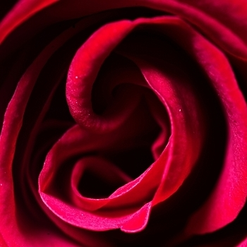 Detail of red rose | LENS MODEL NOT SET