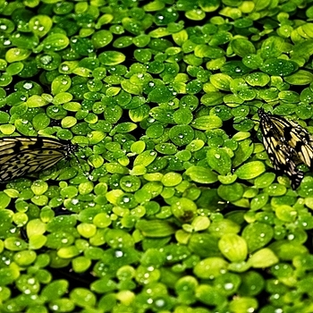 Plants in water with 2 butterflies