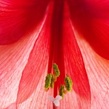 Heart of an amaryllis