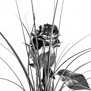 Single rose and decoration b&w | LENS MODEL NOT SET <br> Click image for more details, Click <b>X</b> on top right of image to close