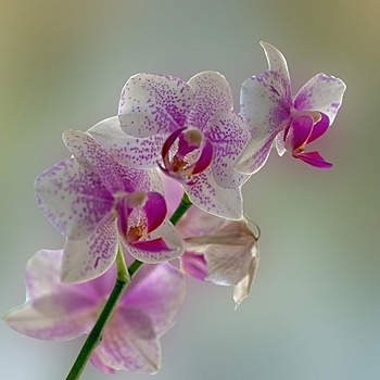 Orchids at home | LENS MODEL NOT SET <br> Click image for more details, Click <b>X</b> on top right of image to close