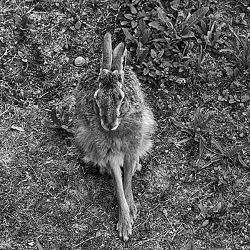 Resting hare | LENS MODEL NOT SET <br> Click image for more details, Click <b>X</b> on top right of image to close