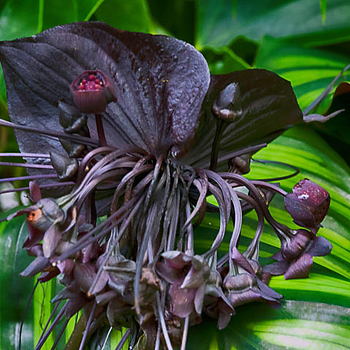 Black bat flower | LENS MODEL NOT SET <br> Click image for more details, Click <b>X</b> on top right of image to close