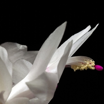 Christmas Cactus | LENS MODEL NOT SET <br> Click image for more details, Click <b>X</b> on top right of image to close