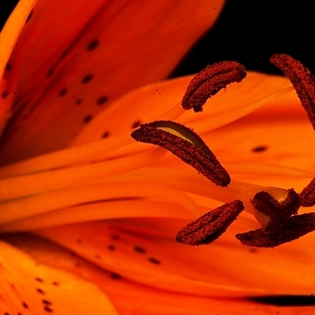 Tiger lilies | LENS MODEL NOT SET <br> Click image for more details, Click <b>X</b> on top right of image to close