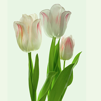 Tulips II | LENS MODEL NOT SET <br> Click image for more details, Click <b>X</b> on top right of image to close