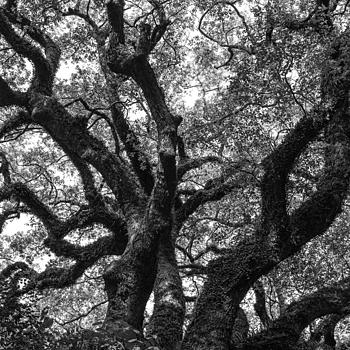 Tree Spirit | LEICA SUMMILUX 35MM F1.4 ASPH <br> Click image for more details, Click <b>X</b> on top right of image to close