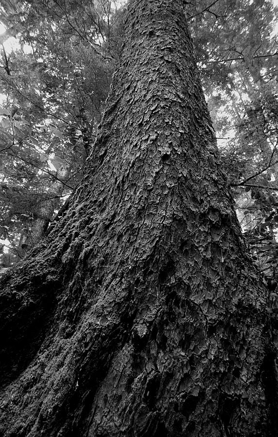 Douglas Fir old growth forest Vancouver Island | LEICA SUMMILUX 35MM F1.4 ASPH <br> Click image for more details, Click <b>X</b> on top right of image to close