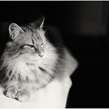 Norsk Skogkatt | LEICA SUMMICRON 50MM F2 <br> Click image for more details, Click <b>X</b> on top right of image to close