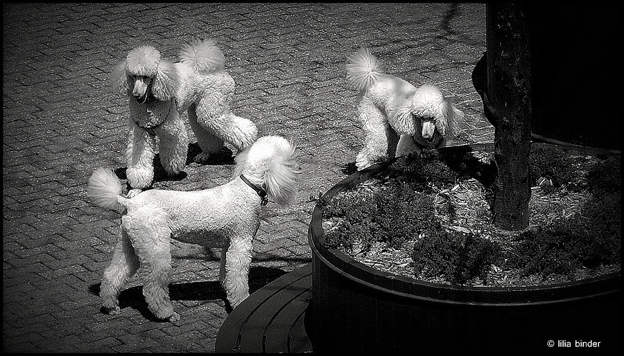 3 happy poodles | LEICA TELE-ELMARIT 90MM F2.8 (SLIM) <br> Click image for more details, Click <b>X</b> on top right of image to close