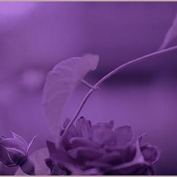 purple fantasy | LEICA SUMMICRON 50MM F2 <br> Click image for more details, Click <b>X</b> on top right of image to close