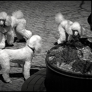 3 happy poodles | LEICA TELE-ELMARIT 90MM F2.8 (SLIM)