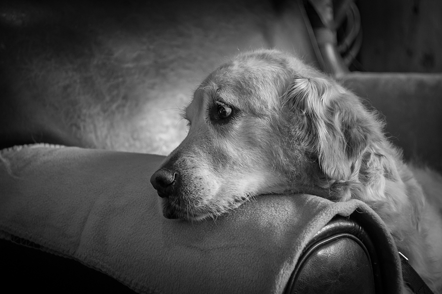 Golden Retriever | LEICA SUMMICRON 35MM F2 <br> Click image for more details, Click <b>X</b> on top right of image to close