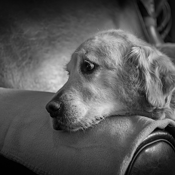 Golden Retriever | LEICA SUMMICRON 35MM F2. <br> Click image for more details, Click <b>X</b> on top right of image to close