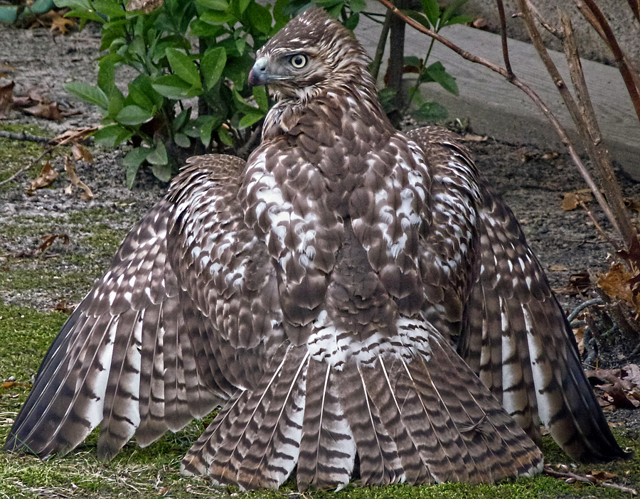 Backyard Hawk | LENS MODEL NOT SET <br> Click image for more details, Click <b>X</b> on top right of image to close