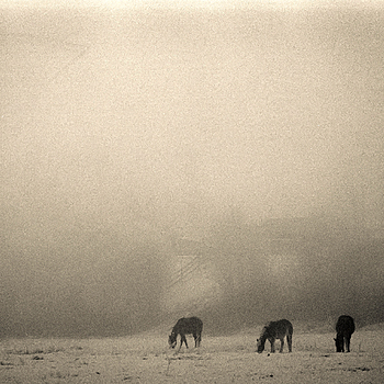 Horses in Fog. | CV 50MM / F 1.1 NOKTON <br> Click image for more details, Click <b>X</b> on top right of image to close