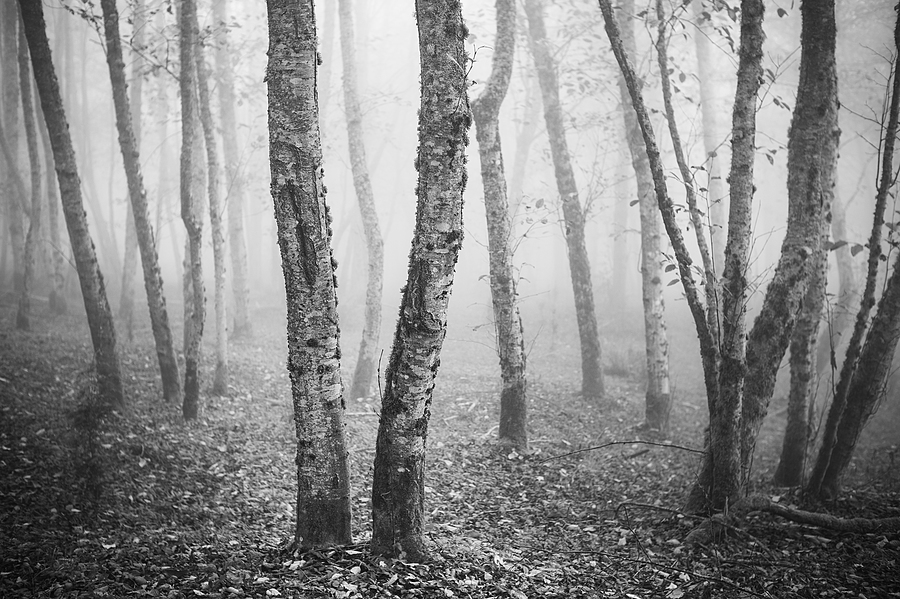 Trees in Fog | LEICA SUMMILUX 50MM F/1.4 PRE ASPH (E46) <br> Click image for more details, Click <b>X</b> on top right of image to close