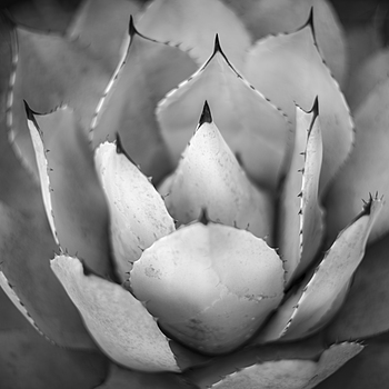 Agave | LEICA SUMMILUX 50MM F/1.4 PRE ASPH (E46) <br> Click image for more details, Click <b>X</b> on top right of image to close