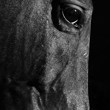 Horse | LENS MODEL NOT SET <br> Click image for more details, Click <b>X</b> on top right of image to close