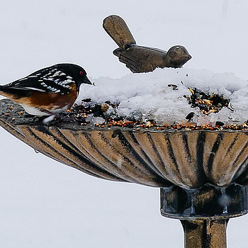 Spotted Towhee | LENS MODEL NOT SET <br> Click image for more details, Click <b>X</b> on top right of image to close