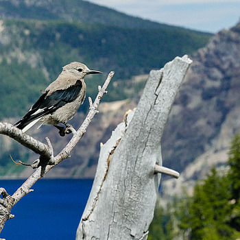 Clark's Nutcracker | LENS MODEL NOT SET <br> Click image for more details, Click <b>X</b> on top right of image to close