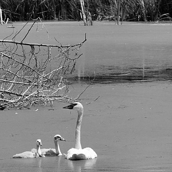 Swan with cygnets | LENS MODEL NOT SET <br> Click image for more details, Click <b>X</b> on top right of image to close