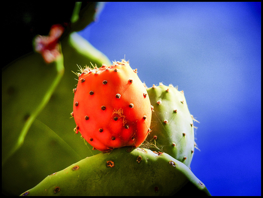 prickly pears | DC VARIO-ELMARIT 1:2.8/4.5-108 ASPH <br> Click image for more details, Click <b>X</b> on top right of image to close