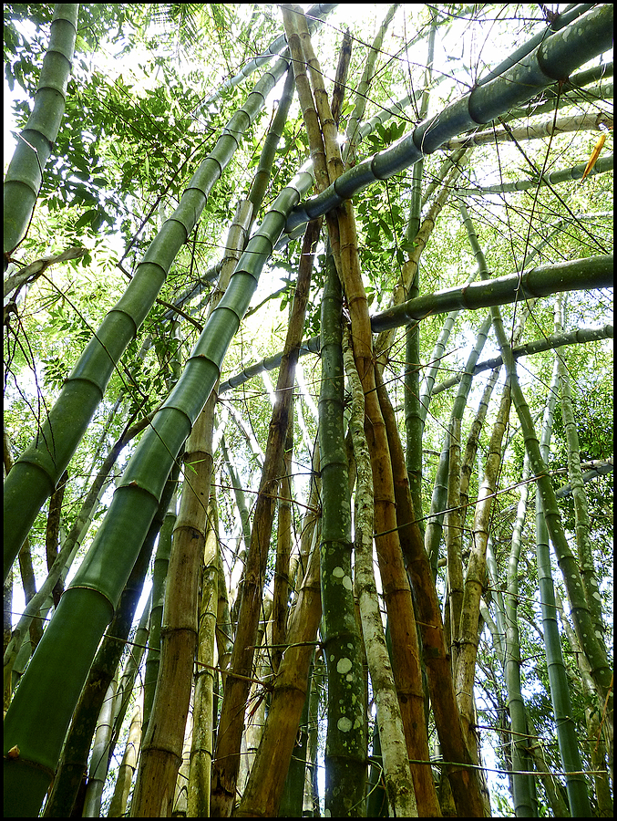 Sapiranga: Bamboo | LEICA DC VARIO-ELMARIT 1:2.8/4.5-108 ASPH <br> Click image for more details, Click <b>X</b> on top right of image to close