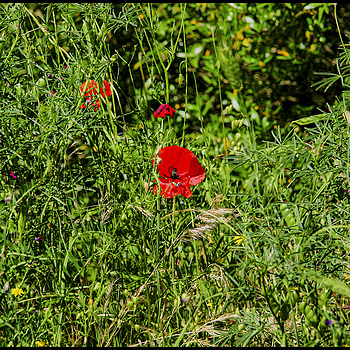 Poppies | DC VARIO-ELMARIT 1:2.8/4.5-108 ASPH