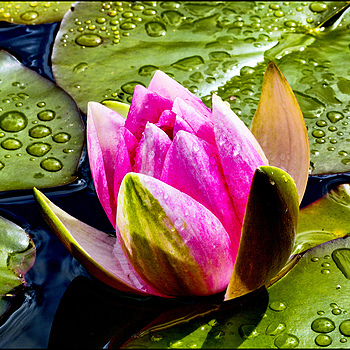 Water Lily flower | DC VARIO-ELMARIT 1:2.8/4.5-108 ASPH <br> Click image for more details, Click <b>X</b> on top right of image to close
