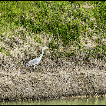 Gray heron | DC VARIO-ELMARIT 1:2.8/4.5-108 ASPH <br> Click image for more details, Click <b>X</b> on top right of image to close