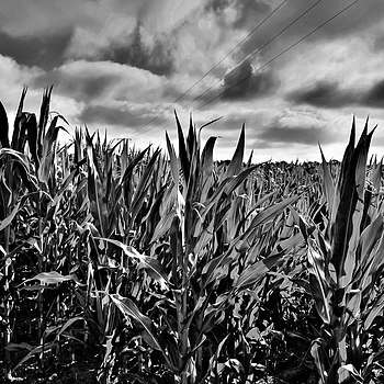 In the Cornfield | LENS MODEL NOT SET <br> Click image for more details, Click <b>X</b> on top right of image to close