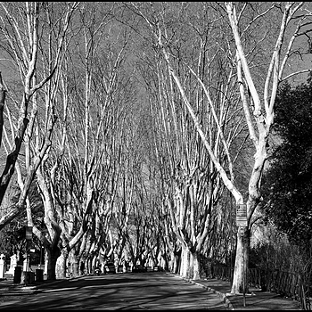 Roma: Gianicolo, tree-lined avenue | DC VARIO-ELMARIT 1:2.8/4.5-108 ASPH