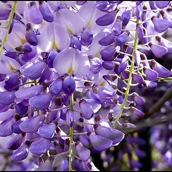 Wisteria | DC VARIO-ELMARIT 1:2.8/4.5-108 ASPH <br> Click image for more details, Click <b>X</b> on top right of image to close