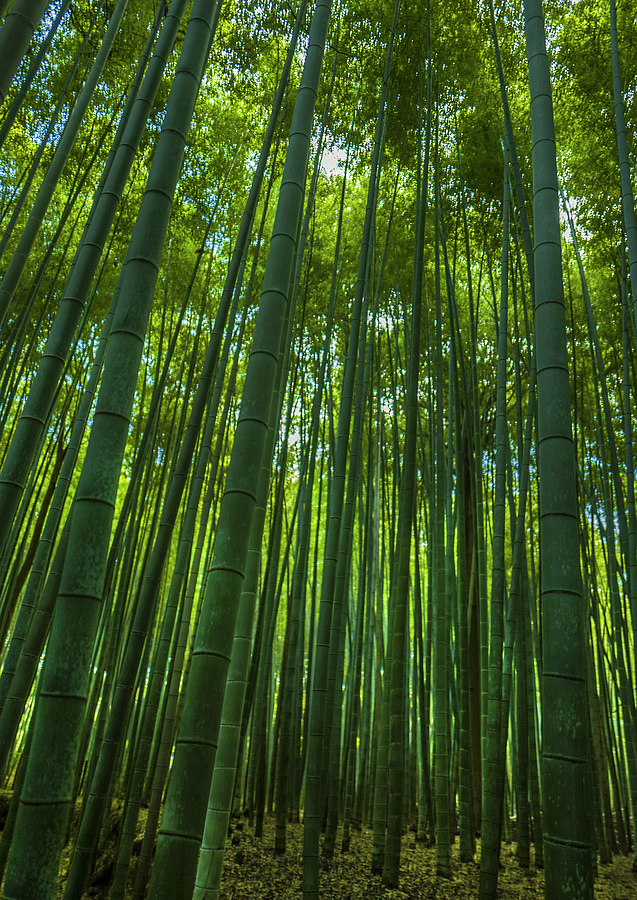 Bamboo forest | LENS MODEL NOT SET <br> Click image for more details, Click <b>X</b> on top right of image to close