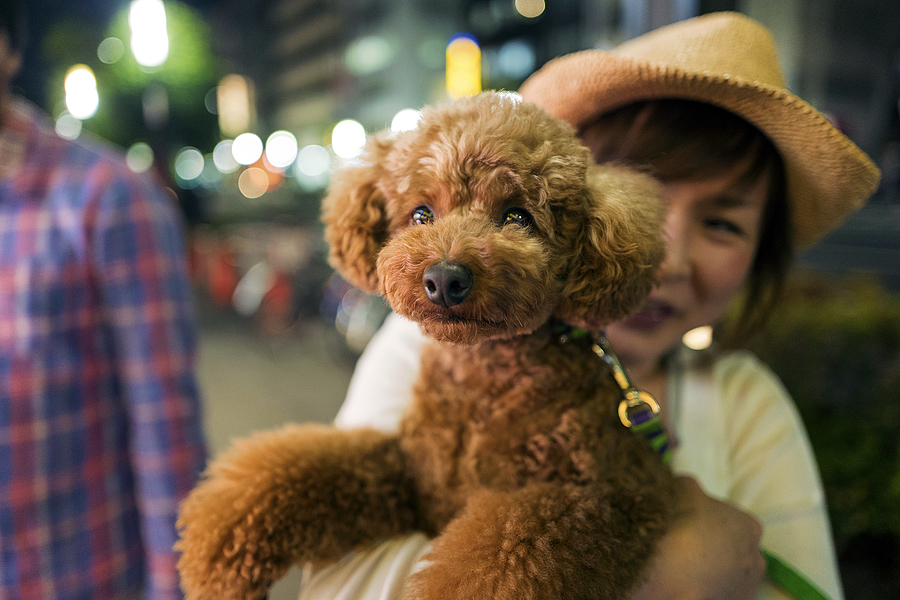 Brown Poodle Shanghai | LEICA 28MM SUMMILUX F1.7 AF <br> Click image for more details, Click <b>X</b> on top right of image to close