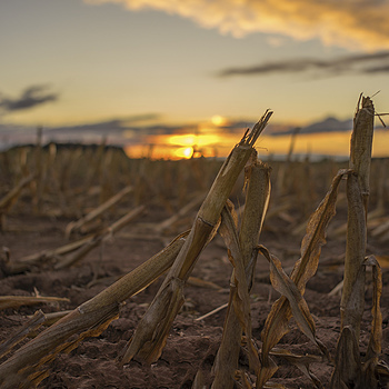 Sunset and corn stover | LEICA SUMMICRON 35MM F2 ASPH <br> Click image for more details, Click <b>X</b> on top right of image to close