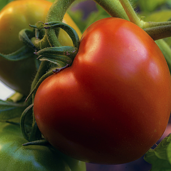 Tomato | LEICA 60MM MACRO ELMARIT 2ND VERSION