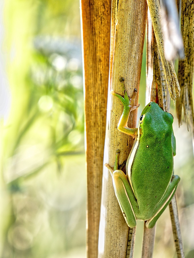 Another Frog | LEICA DG 100-400MM F4.0-6.3 <br> Click image for more details, Click <b>X</b> on top right of image to close