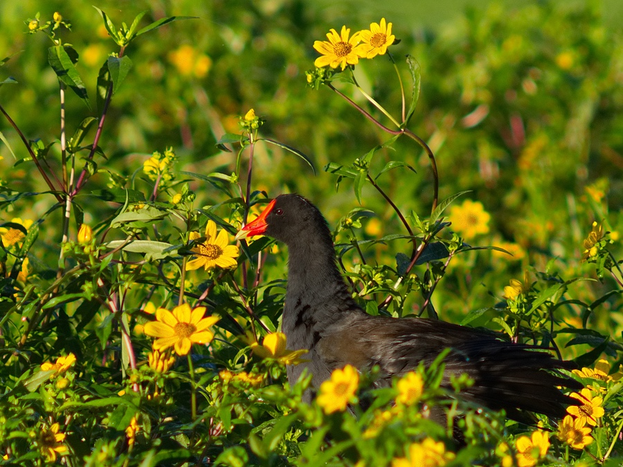 Moors Hen and Wild Flowers  | LEICA 560MM F6.8 TELYT 1971–95 <br> Click image for more details, Click <b>X</b> on top right of image to close