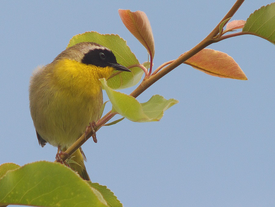 Common Yellow Throat | LEICA 560MM F6.8 TELYT 1971–95 <br> Click image for more details, Click <b>X</b> on top right of image to close