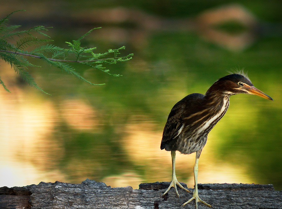 Juvenile Green Heron | LEICA 560MM F6.8 TELYT 1971–95 <br> Click image for more details, Click <b>X</b> on top right of image to close