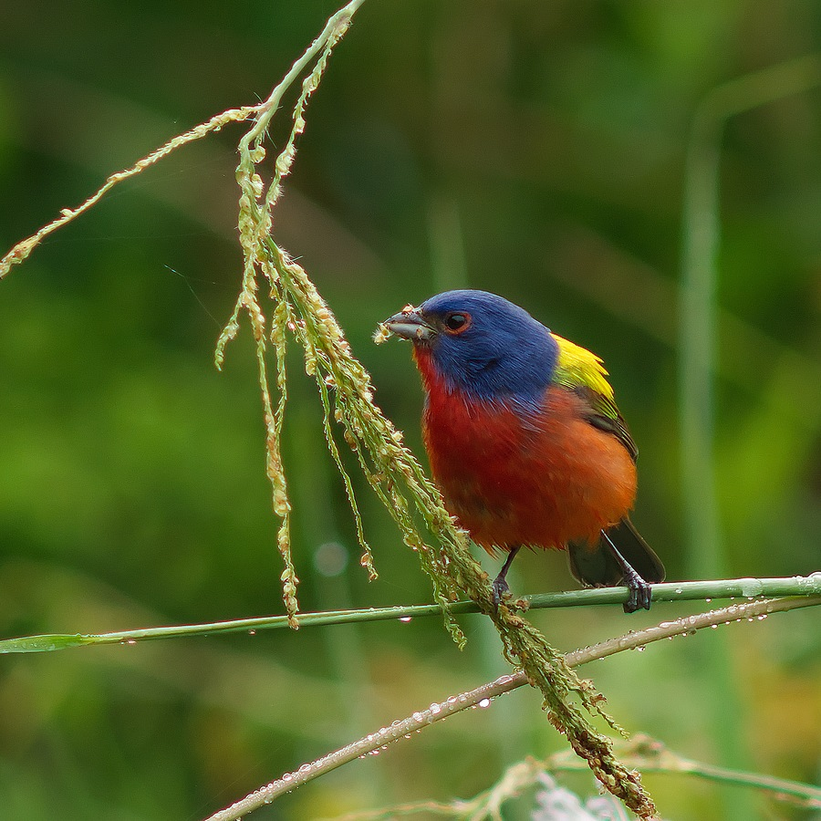 Painted Bunting | LEICA 560MM F6.8 TELYT 1971–95 <br> Click image for more details, Click <b>X</b> on top right of image to close