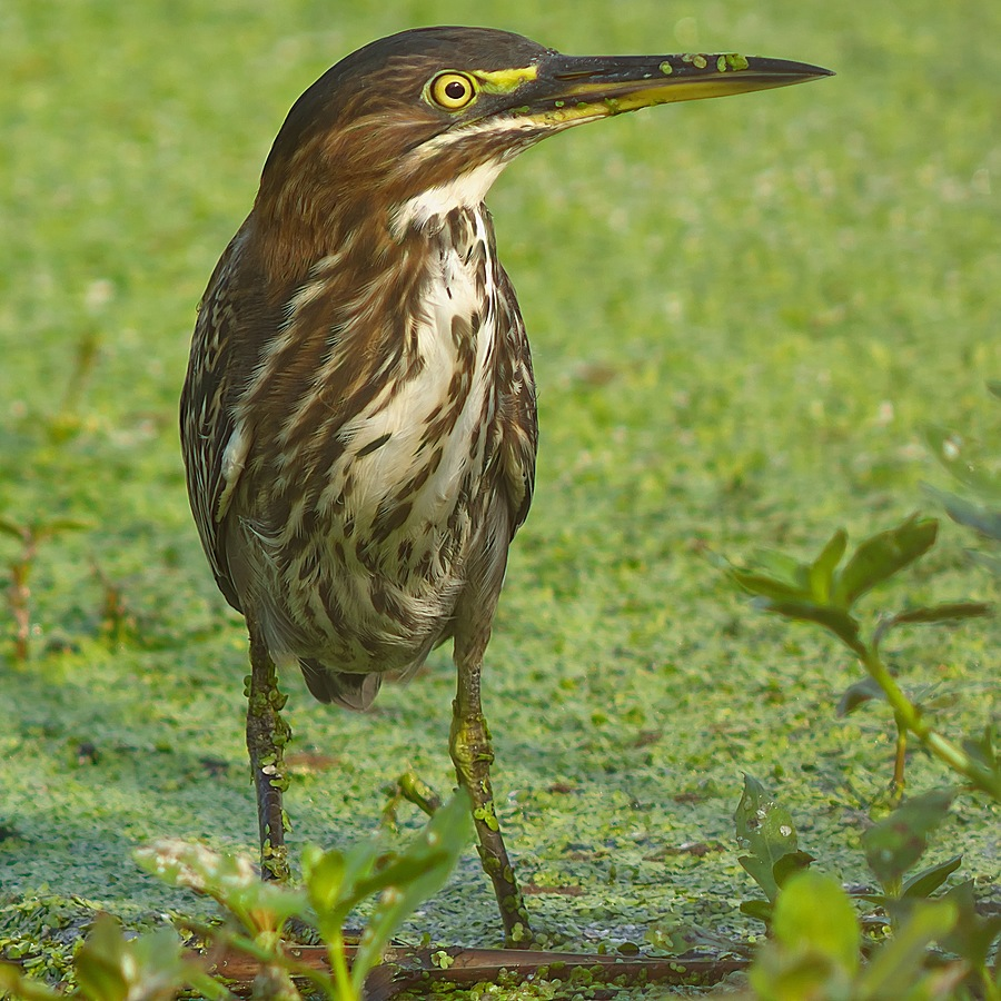 Green Heron | LEICA 560MM F6.8 TELYT 1971–95 <br> Click image for more details, Click <b>X</b> on top right of image to close