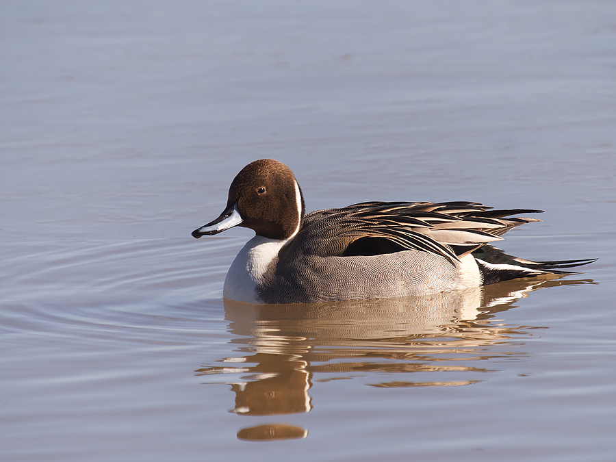 Pintail | LEICA DG 100-400MM F4.0-6.3 <br> Click image for more details, Click <b>X</b> on top right of image to close