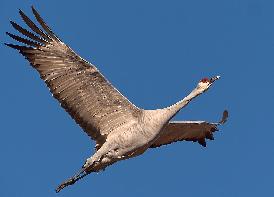 Sandhill Crane | LEICA DG 100-400MM F4.0-6.3 <br> Click image for more details, Click <b>X</b> on top right of image to close